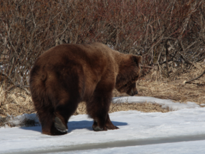 Field Judging Bears - Becharof Lodge